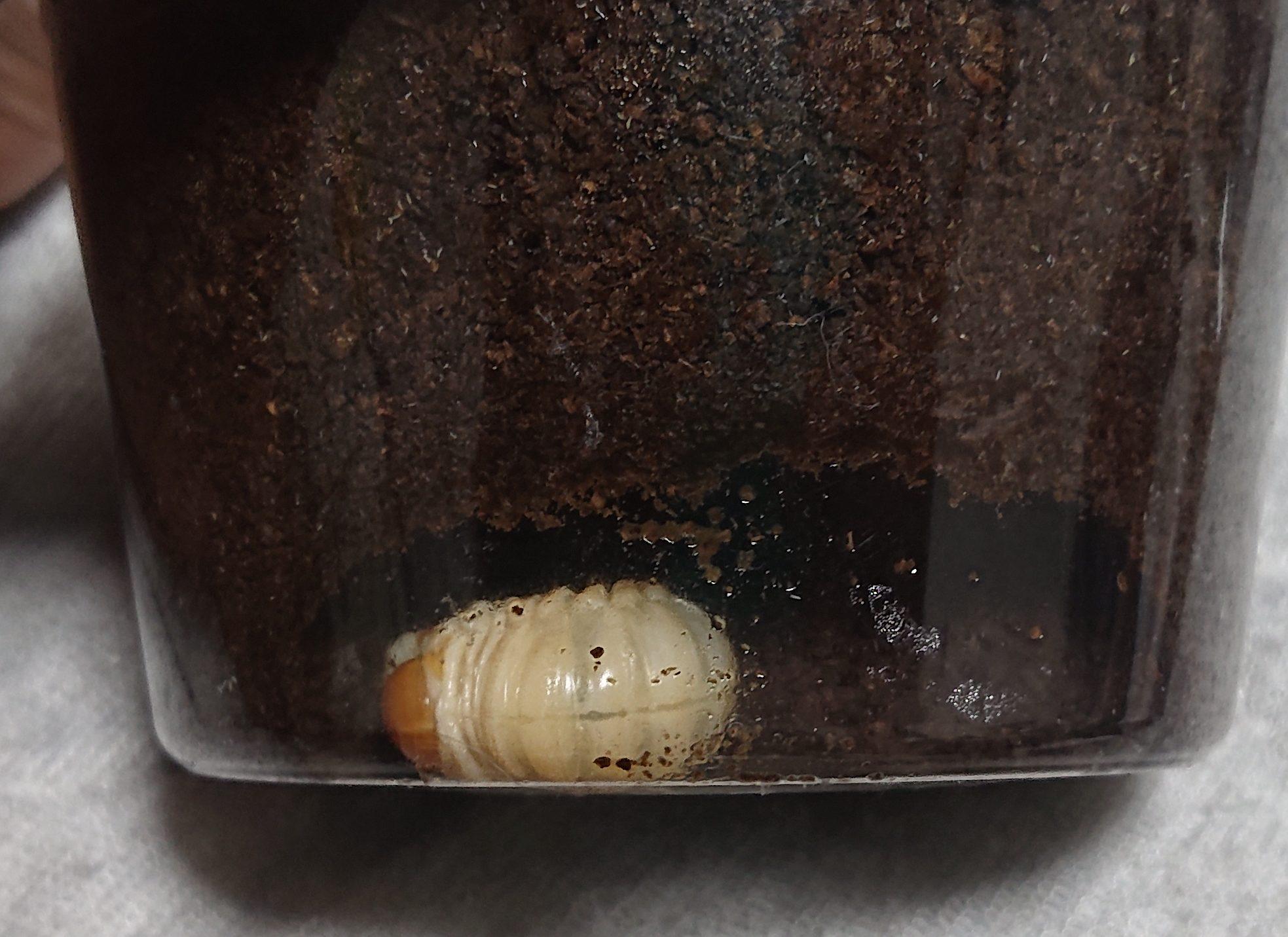 パプキン蛹室