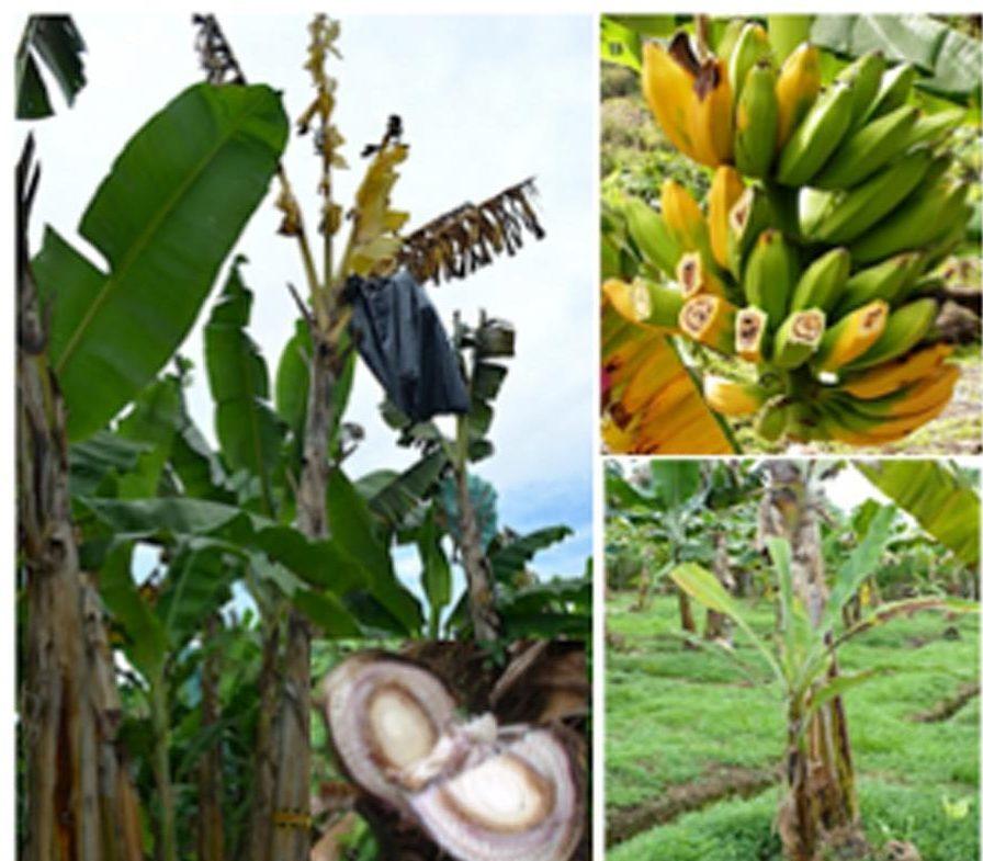 banana moko diseaseバナナ病気