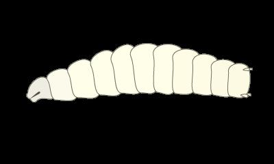 ショウジョウバエの幼虫のイラスト
